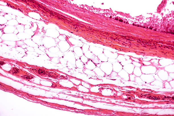 White adipose tissue – Foto