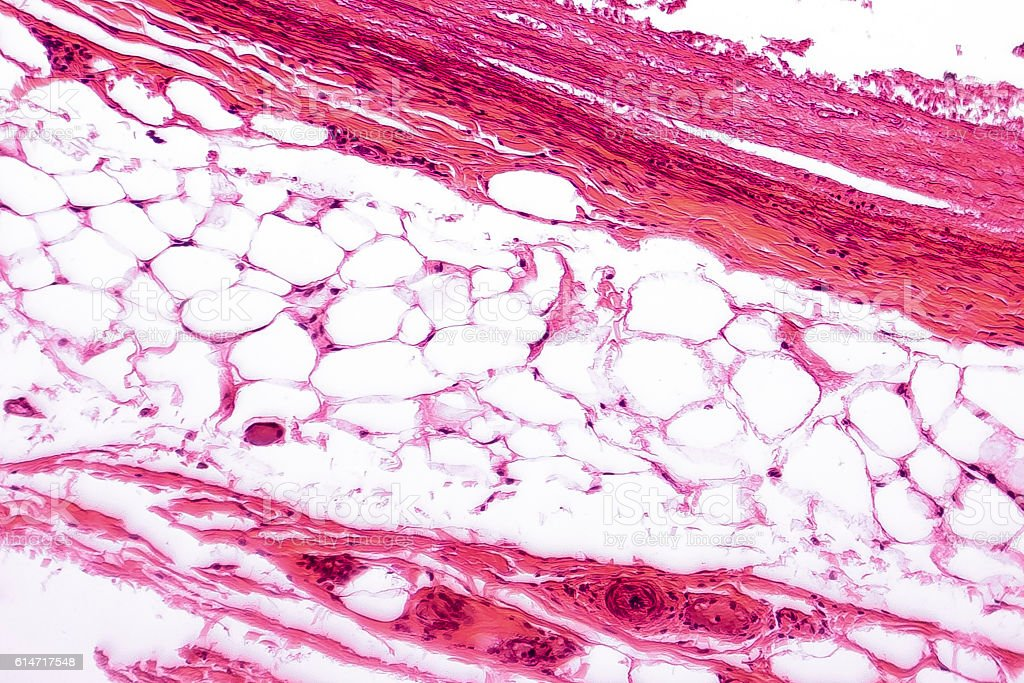 White Adipose Tissue Stock Photo & More Pictures of Adipose Cell ...