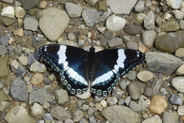 white admiral butterfly - wildlife conservation stock photos and pictures