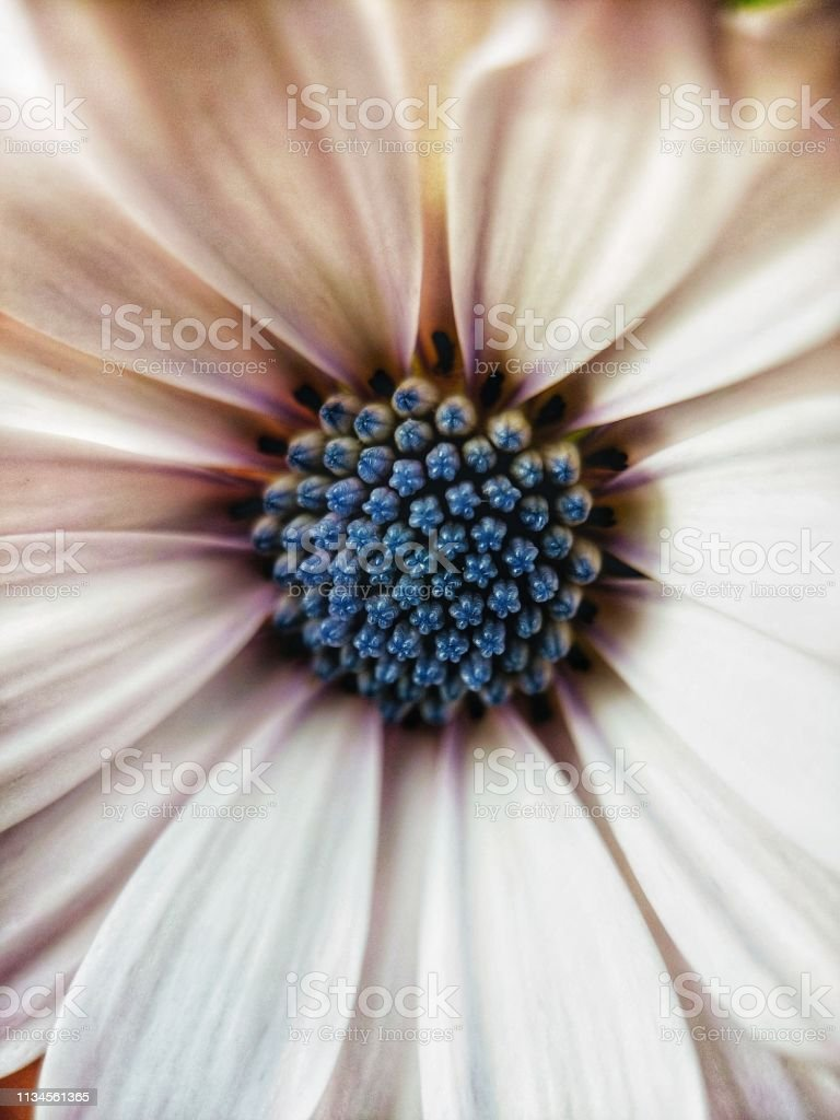 Macro background of white african Daisy flower