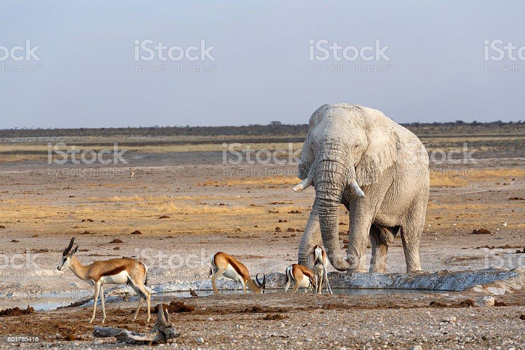 White african elephants in Etosha stock photo