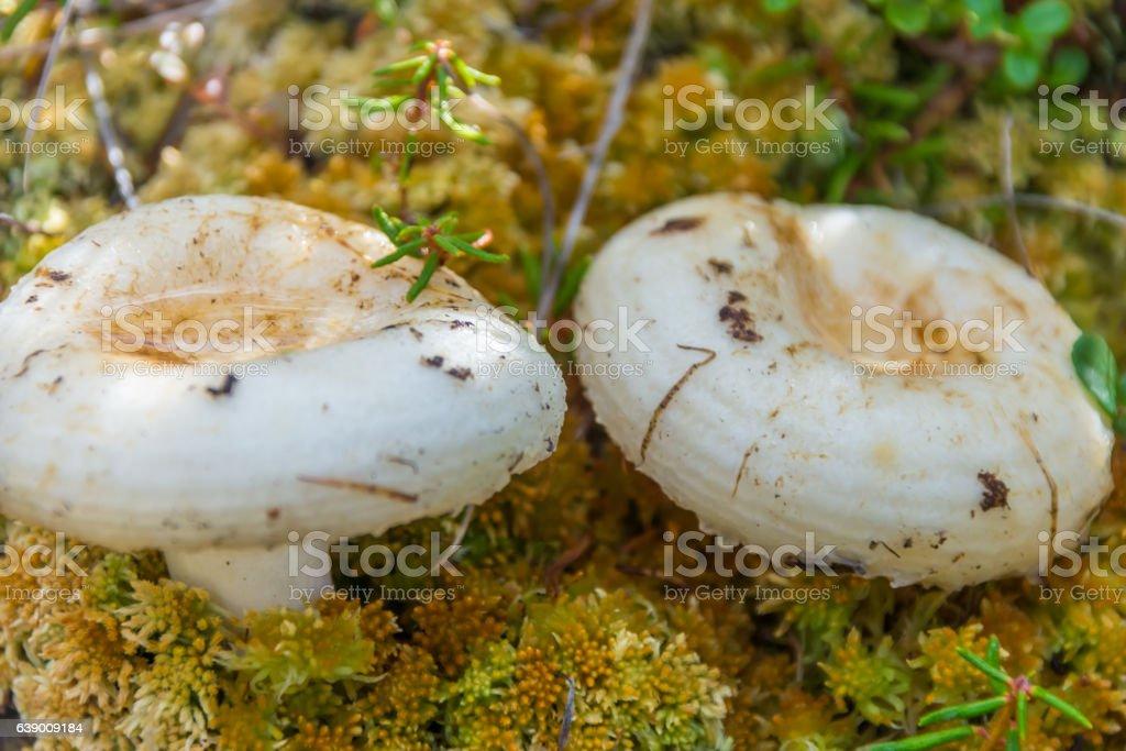White agaric mushroom stock photo