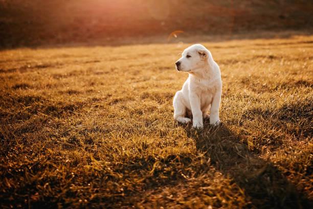 White albai dog in meadow stock photo