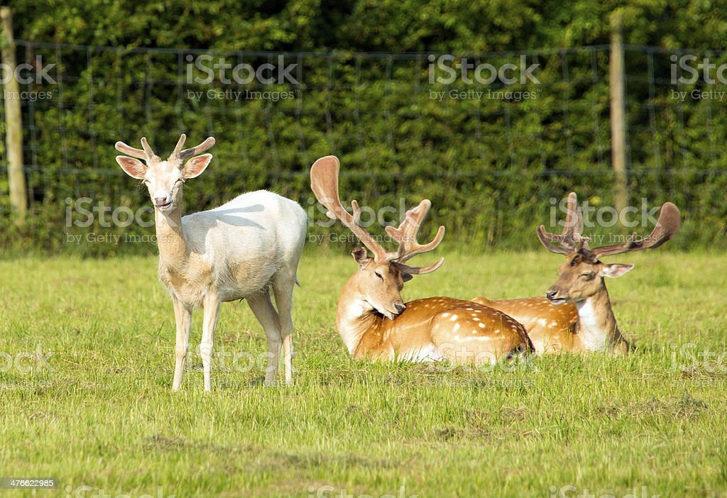 White Albino and red deer royalty-free stock photo