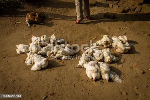 white albino broiler chicken in front of butcher shop in a local Indian rural market.