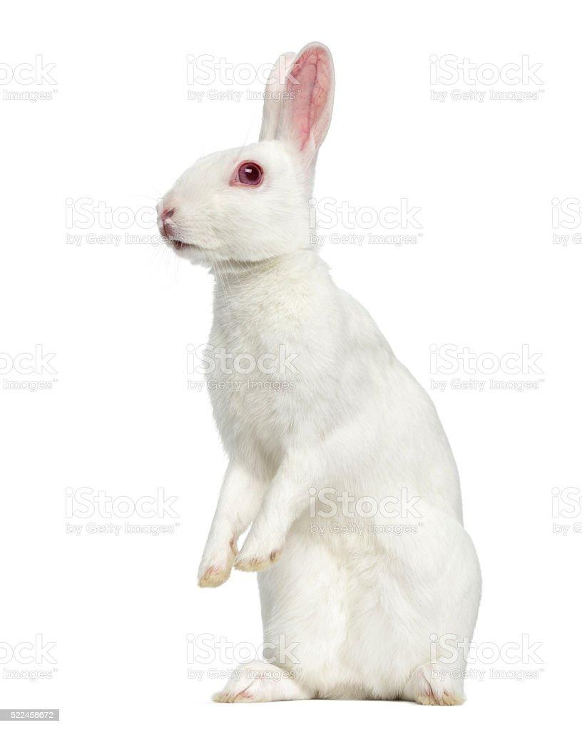 White albino hare isolated on white stock photo