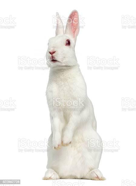 White albino hare isolated on white picture id522862728?b=1&k=6&m=522862728&s=612x612&h=wf40ihdrroem0quppzox ogj9x0lbcx6upxnxfx zla=