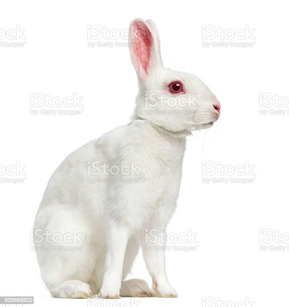 White albino hare isolated on white picture id533993820?b=1&k=6&m=533993820&s=612x612&h=835akgiinbucaimcpqxn01e8o 6s0nn iihjh3y 1f0=