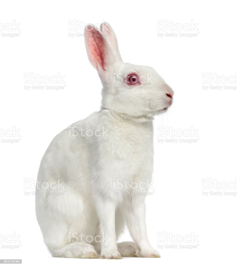 White albino hare isolated on white – zdjęcie
