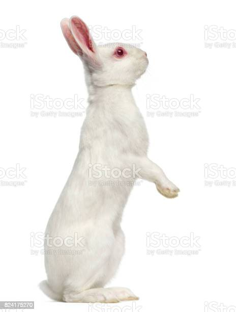White albino hare isolated on white picture id824175270?b=1&k=6&m=824175270&s=612x612&h=j65bj8yxus9q ybvtg5wd28ajv1 gqel5n56ymnarfm=