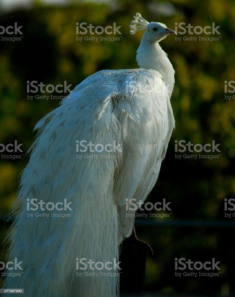 White Albino Peacock stock photo