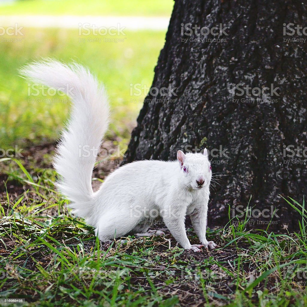 White Albino squirrel by tree stock photo