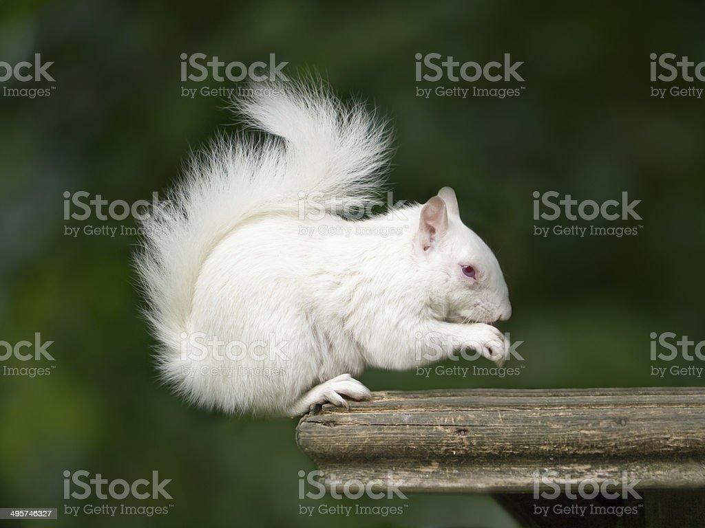 White Albino Squirrel stock photo