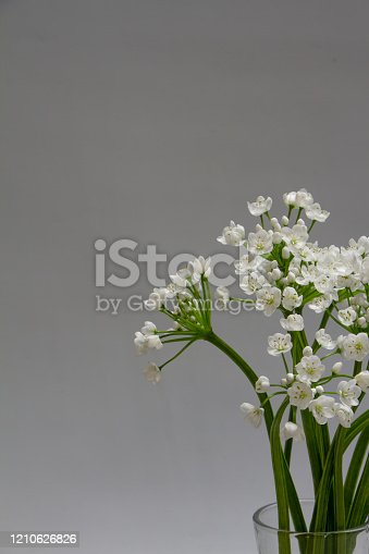 White allium flowers on gray background, copy space