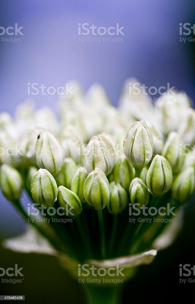 White allium 'Mount everest' stock photo