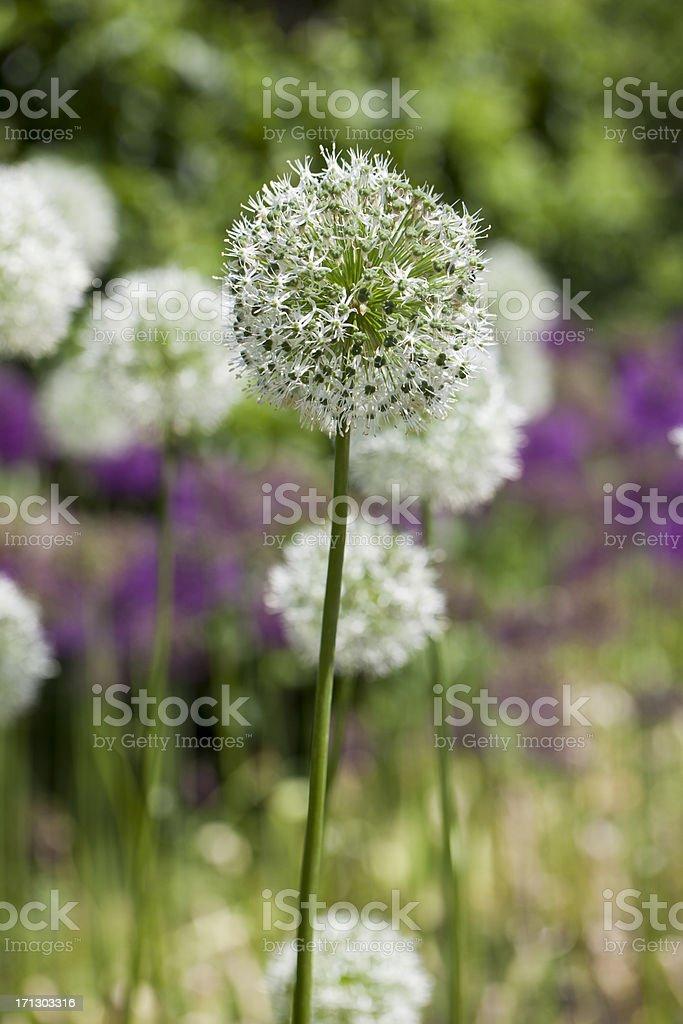 White Allium stock photo