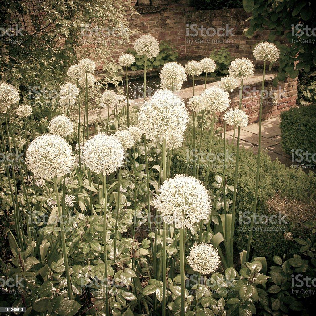 White Alliums royalty-free stock photo