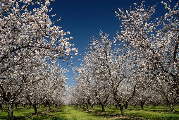 White Almond Blossoms stock photo