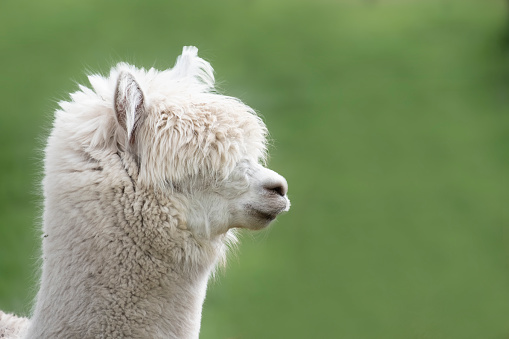 A young alpaca or llama, close-up in front of a tree (shallow DOF with focus on eye abd upper part of head).