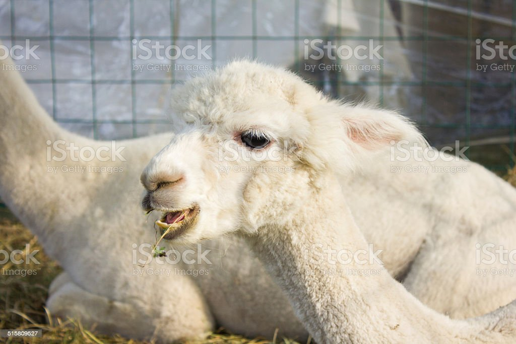 White Alpaca Chewing Grass royalty-free stock photo