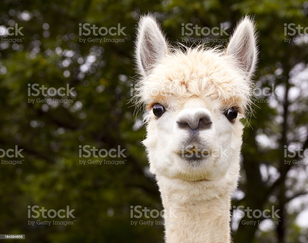 White Alpaca Close-Up stock photo