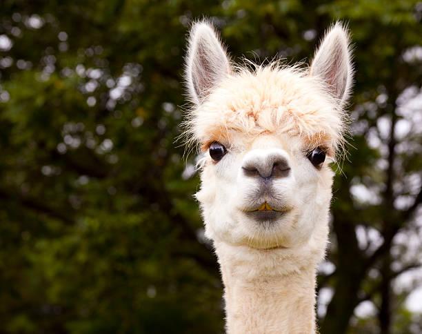 weißer alpaka-nahaufnahme - lama kamelartige stock-fotos und bilder