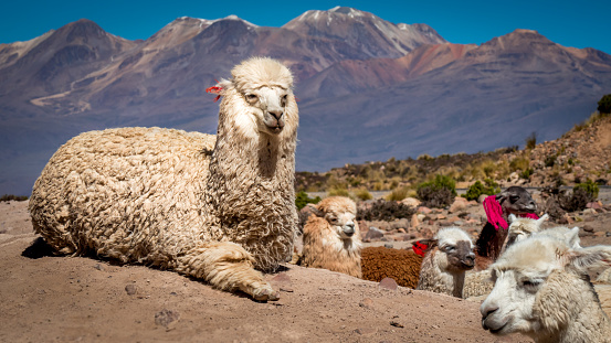 white alpaca llama looks into the camera, surrounded by several lamas in different colors with ear markings on a dusty ground in foreground, colored mountains with snow-capped peaks in the background