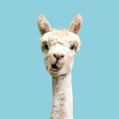 White funny alpaca on blue background