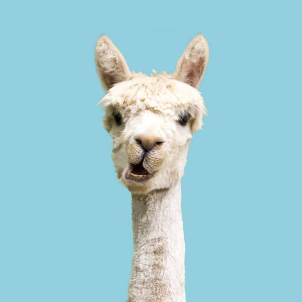 weißes alpaka auf blauem hintergrund - lama kamelartige stock-fotos und bilder