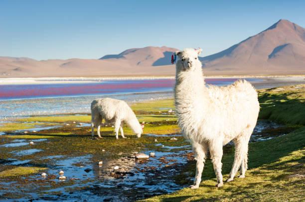 玻利維亞阿爾蒂普拉諾的拉古納科洛達上的白羊。 - 阿爾蒂普拉諾山脈 個照片及圖片檔