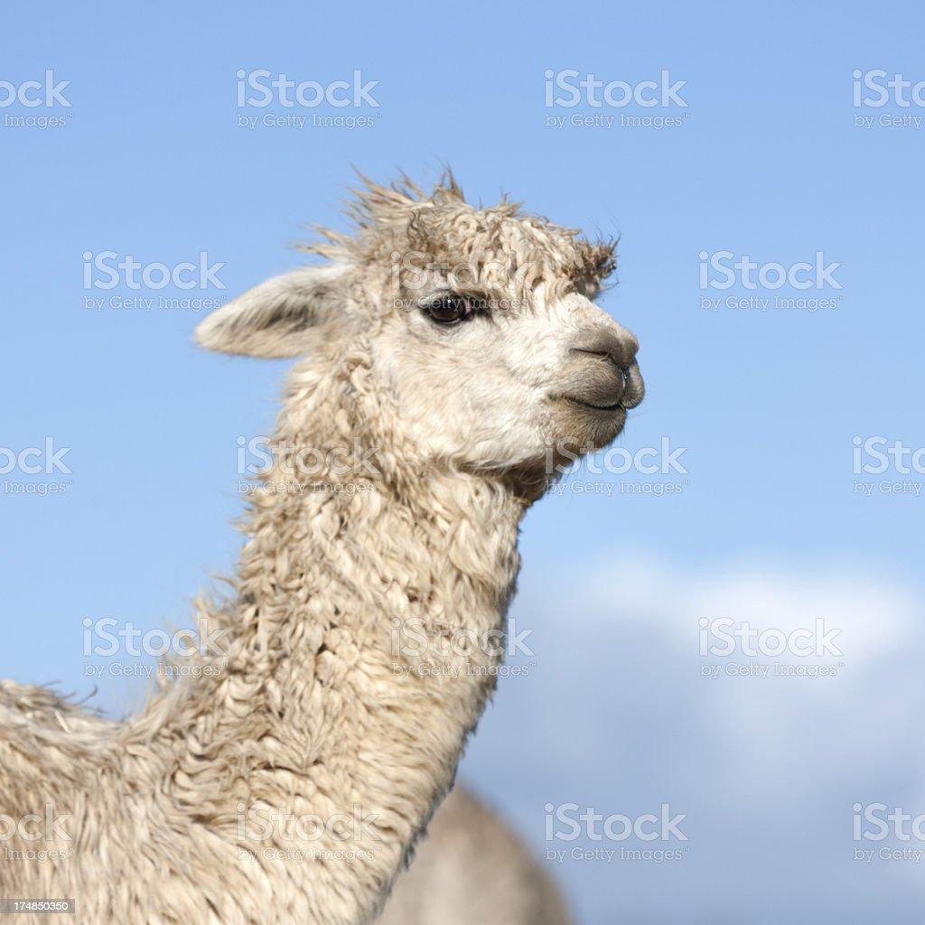White Alpaca royalty-free stock photo