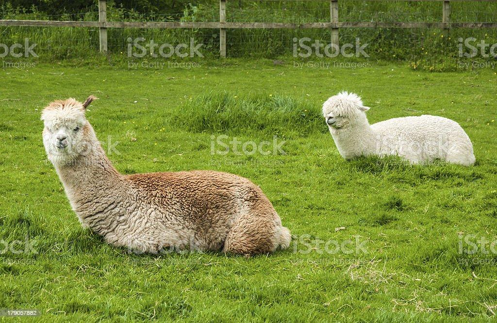 White Alpaca stock photo