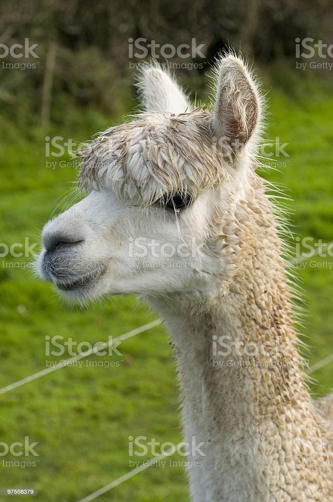 white Alpaca royalty-free stock photo