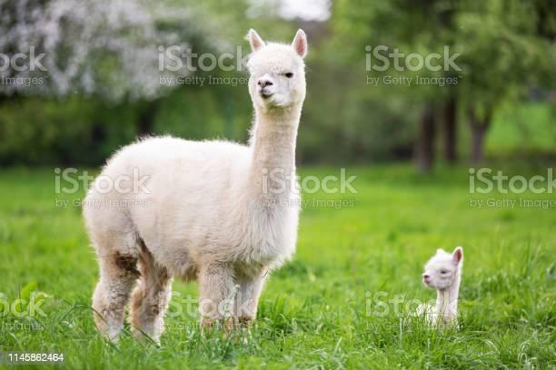 White alpaca with offspring south american mammal picture id1145862464?b=1&k=6&m=1145862464&s=612x612&h=jdmojcnlxllmllt iza0kzi8syh0pnzkdce3ktduolq=