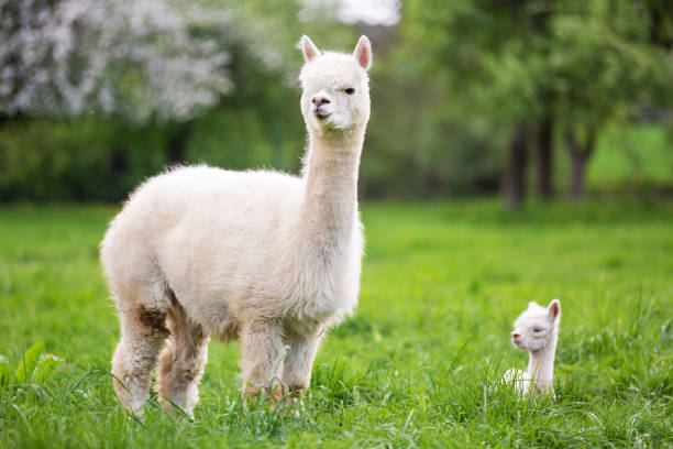 White Alpaca with offspring, South American mammal White Alpaca with offspring, South American mammal animal family stock pictures, royalty-free photos & images