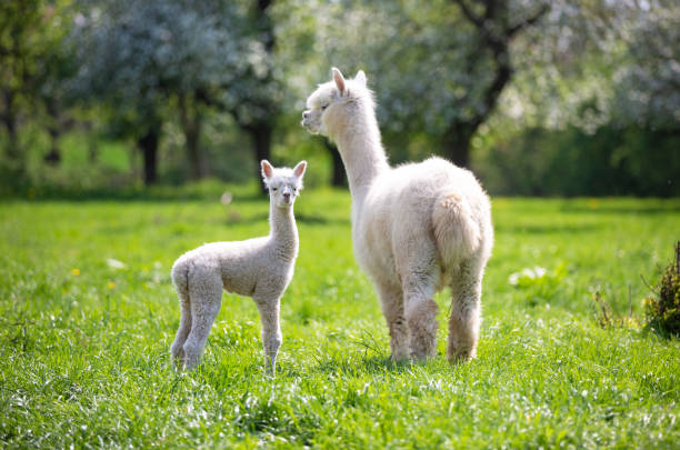 White Alpaca with offspring, South American mammal stock photo