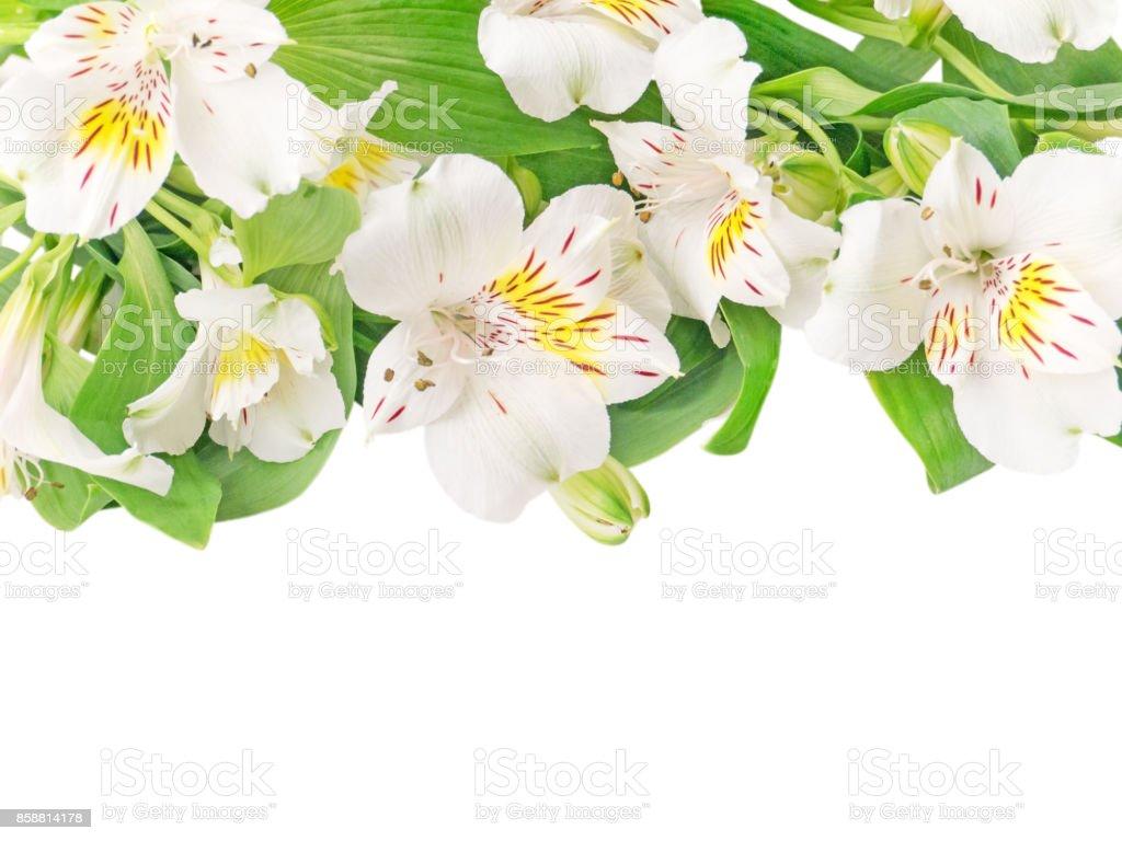 White alstroemeria or peruvian lily flowers isolated on white stock white alstroemeria or peruvian lily flowers isolated on white royalty free stock photo mightylinksfo