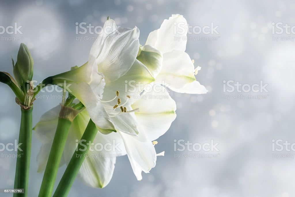 White amaryllis flowers (Hippeastrum) against a snowy background stock photo