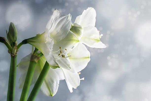 white amaryllis flowers (hippeastrum) against a snowy background - amaryllis photos et images de collection
