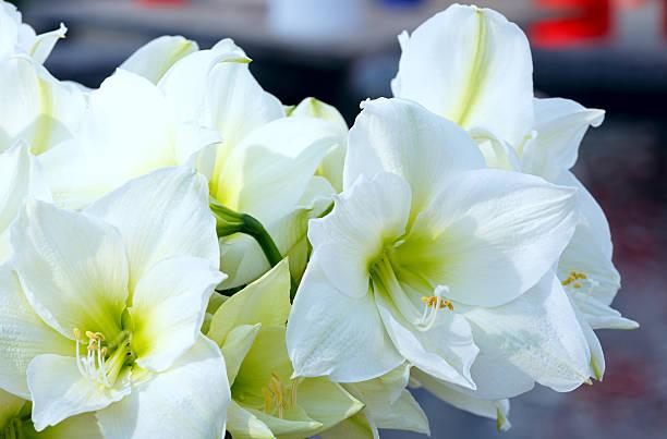 amaryllis fleurs blanches - amaryllis photos et images de collection