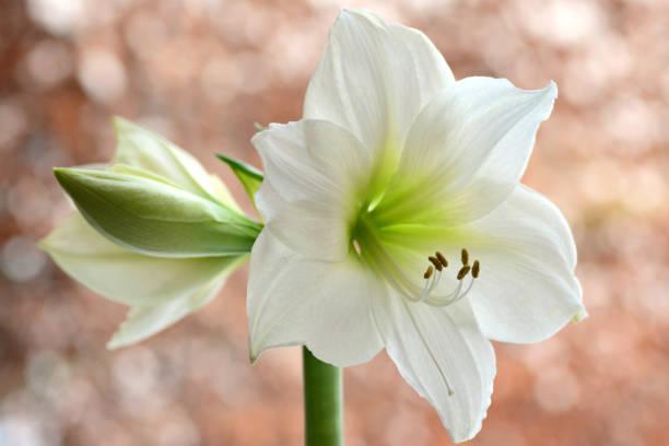 amaryllis blanc en pleine floraison. - amaryllis photos et images de collection