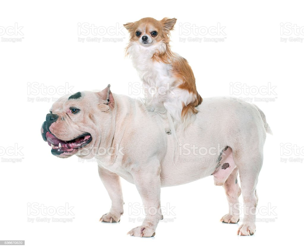 white american bully and chihuahua stock photo