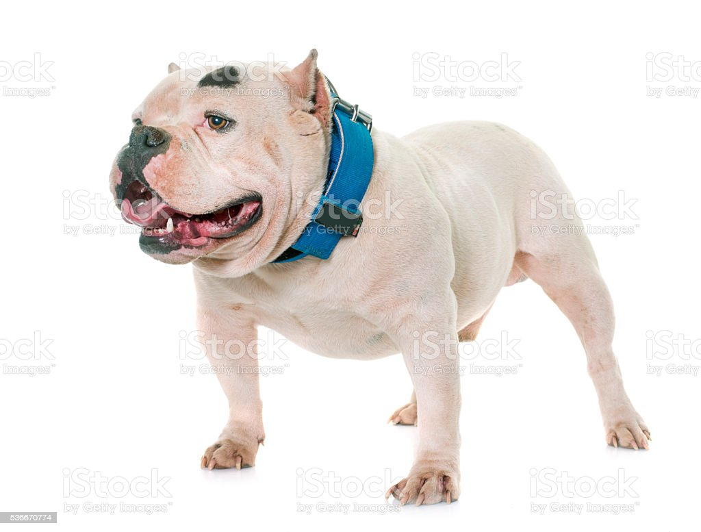 white american bully stock photo