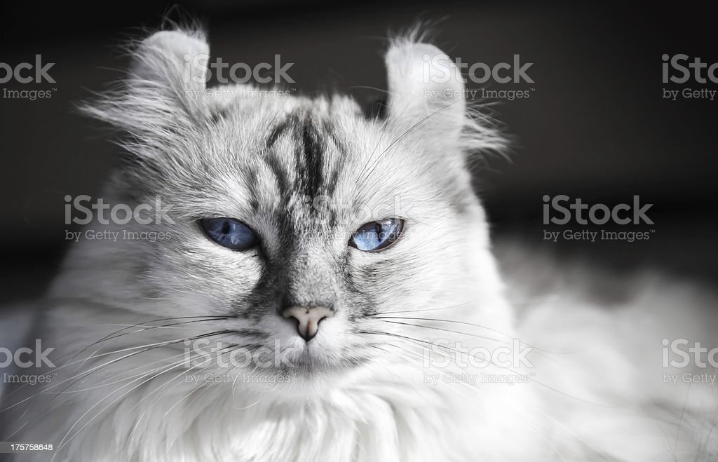 White American Curl cat with blue eyes. Closeup portrait stock photo