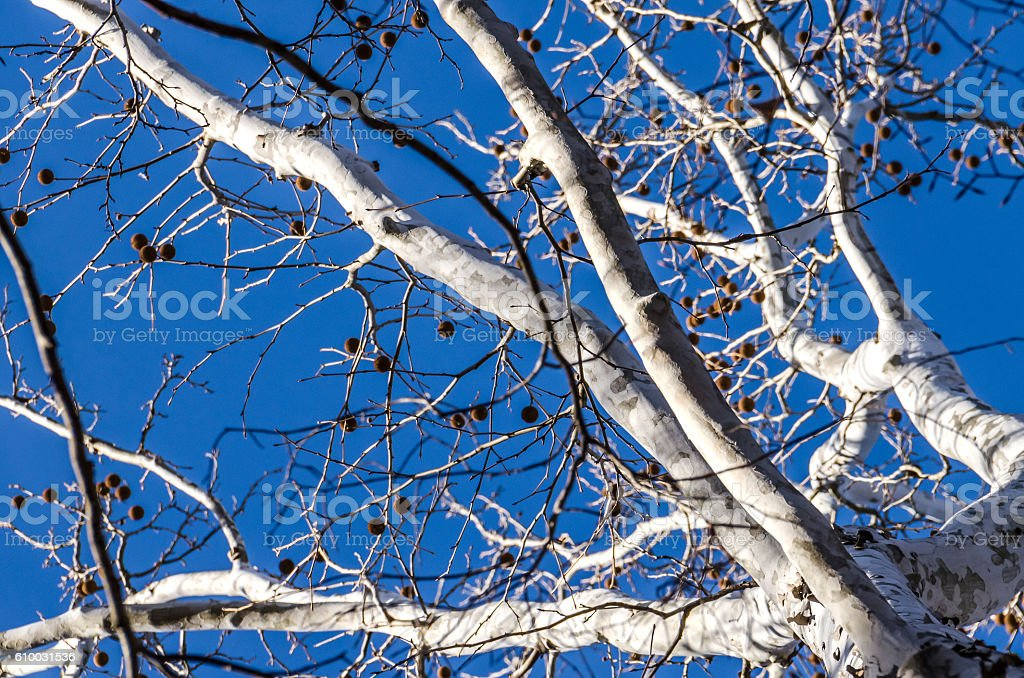 White American sycamore tree with spiky fruit in winter stock photo