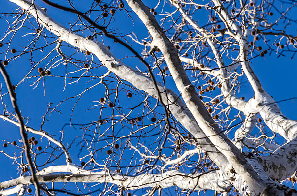 White American sycamore tree with spiky fruit in winter White bark American sycamore tree (Platanus occidentalis) with spiky fruit in winter against blue sky sycamore tree stock pictures, royalty-free photos & images