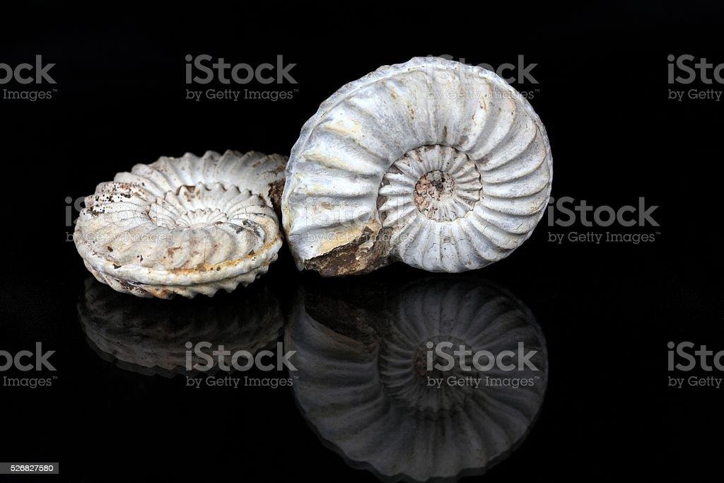 Weiße Ammoniten – Foto