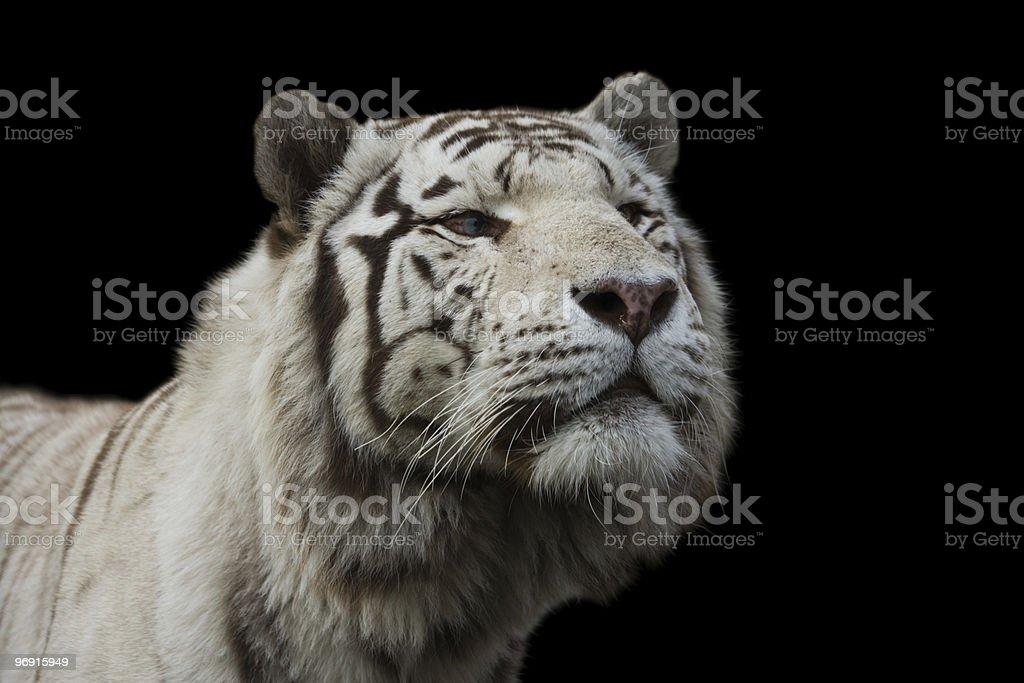 White Amur, or Siberian, Tiger royalty-free stock photo