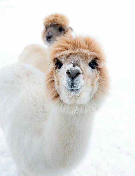 White and beige alpacas stock photo