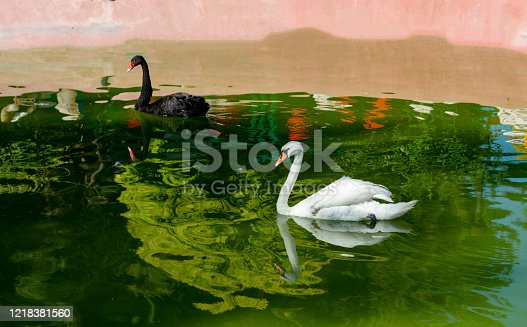 Gaziantep - Turkey. White and black beautiful swans swim on the lake on a sunny day. Swans feed mainly on aquatic plants and small algae, do not disdain also grain.